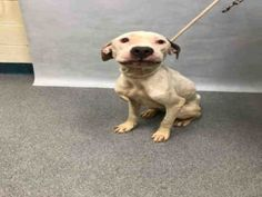Safe!   10/27 PUT IN A SUITCASE!Manhatta Center SKY – A1094084 NEUTERED MALE, WHITE / BLACK, AM PIT BULL TER MIX, 1 yr, 6 mos STRAY – STRAY WAIT, HOLD FOR LEGAL Reason STRAY Intake condition UNSPECIFIE Intake Date 10/20/2016, From NY 10002, DueOut Date 10/23/2016,