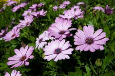 Add colour to your garden with African Daisies - All4Women