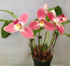Orchid: Lycaste Royal Flush (Malibu Canyon x Koolena) - Flickr - Photo Sharing!