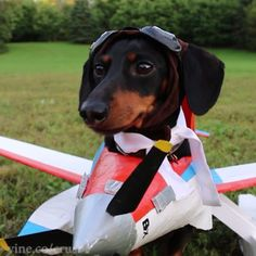 Crusoe the celebrity dachshund — Ready for takeoff!! #cute #airplane Tag someone...