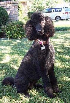 I love black poodles. http://media-cache2.pinterest.com/upload/278238083197971804_vTE8g0k1_f.jpg aarikajene stuff i like