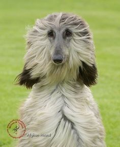 Afghan Hound - I always loved these dogs!