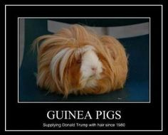 Funny pictures about Guinea Wigs. Oh, and cool pics about Guinea Wigs. Also, Guinea Wigs. Baby Guinea Pigs, Guinea Pig Care, Baby Animals, Funny Animals, Cute Animals, Small Animals, Guinea Pig Supplies, Donald Trump Hair, The Meta Picture