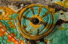 Eye of Veiled Chameleon