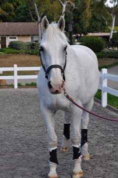 What's your secret for keeping a white or gray horse clean?   Ideas here:  http://www.proequinegrooms.com/index.php/tips/grooming/keeping-a-white-horse-white/