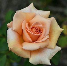 Light Orange Rose I - Flowers - Orange - Rosen - Orange Beautiful Flowers Photos, Flower Photos, Beautiful Roses, Pretty Flowers, Rose Pictures, Photo Rose, Rose Reference, Orange Rosen, Rose Flower Tattoos