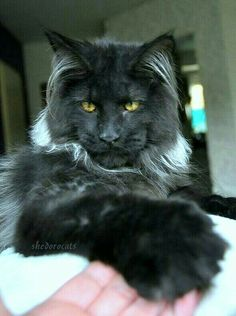 Maine Coon cat.  See 40,000 cats: https://www.pinterest.com/abetterresume/meow-cats-only