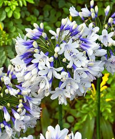 Spring Hill Nurseries Twister Lily of the Nile (Agapanthus) Live Bareroot Perennial with White Flowers - The Home Depot Container Plants, Container Gardening, Beautiful Gardens, Beautiful Flowers, Agapanthus Blue, Agapanthus Africanus, African Lily, Garden Express, Spring Hill Nursery