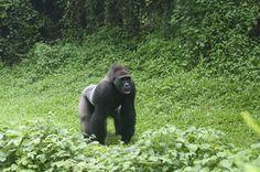 Uganda Gruppenreisen mit Gorilla Trekking beim Spezialisten buchen. Deutschsprachige geführte Kleingruppenreisen und Safaris durch Uganda.