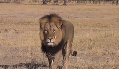 cecil lion zimbabwe | Cecil the lion , killed in Zimbabwe on July 6, was one of Africa's ...