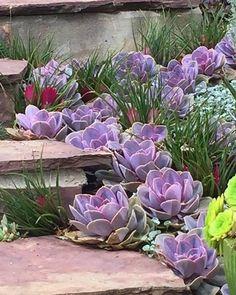 Echeveria Perle Von Nurnberg - front yard landscaping ideas with rocks Plants, Echeveria, Succulent Landscape Design, Desert Landscaping, Rock Garden, Front Yard Decor, Succulents, Succulent Landscaping, Garden Design