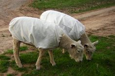 "We use ""Matilda"" brand sheep coats in the winter to keep the hay out of the fleeces."