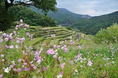 rice terraces / shodoshima / japan