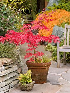 Japanese maples turn an eye-popping, fiery hue in fall. Great as container trees, they can be moved where you want.