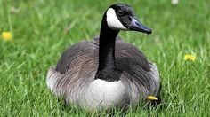 Wildlife Intern Rescues Canada Goose from Attack by Kids Near School in Illinois - The attack, which occurred near a pond behind Batavia High School, resulted in injuries so severe that the bird had to be hospitalized. http://www.chicagotribune.com/suburbs/aurora-beacon-news/crime/ct-abn-kids-attack-goose-st-0822-20160822-story.html