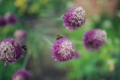 Purple alliums in this Surrey garden Surrey, Gardens, Landscape, Purple, Plants, Design, Scenery, Landscape Paintings, Purple Stuff