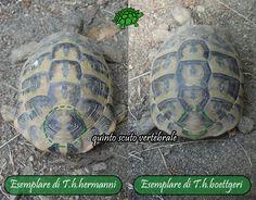 """Una differenza ancora più visibile è presente sul quinto scuto vertebrale. Le T.h.h. possiedono una marcatura ben definita a formare la cosiddetta forma a """"buco della serratura"""", mentre nelle T.h.b. il quinto scuto vertebrale in genere dispone di un marcatura non distinguibile o riconducibile a qualche simbolo in particolare. C'è da dire però, che negli esemplari più anziani di T.h.h. la forma su citata, può deformarsi e scomparire."""