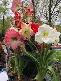 Variety of amaryllis Amaryllis Plant, Amaryllis Bulbs, Flowers Gif, Bulb Flowers, Colorful Plants, Exotic Plants, Most Beautiful Flowers, Pretty Flowers, Growing Flowers
