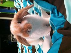 #holland lop #bunny.     Would adore a little girl like this for my lop boy :')