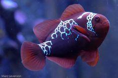 Visiting a rare fish: the Lightning Maroon Clownfish melev Rare Fish, Exotic Fish, Beautiful Sea Creatures, Marine Colors, Watercolor Fish, Fish Drawings, Pet Fish, Ocean Creatures, Saltwater Aquarium