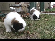 Saint Bernard puppies frolic, then get really sleepy.