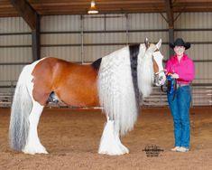 Цыганская Лошадь, Лошади, Животные