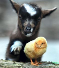 John the baby goat makes friends with Charlie the chick at Reddish Vale School Farm near Stockport. (Photo: Andy Lambert / Men Syndication)