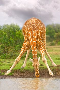 Reticulated Giraffe Drinking Water, Sweetwaters Game Park, Kenya ~ Photo by Jim Zuckerman