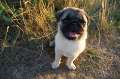5 steps on how to pick the best pug food
