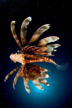 Lionfish belly by Adam Broadbent on Flickr.