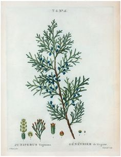 Click HERE for the Full Size Printable This is a fabulous Antique Botanical Juniper Branch Printable!! This print comes from an Antique Botanical Plants Book. The printable shows a pretty Juniper Branch with Blue Berries! I think this would look great under a glass cloche or behind the panes of an Old Window! If...Read More »