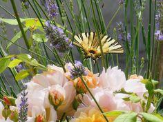 """papillon """"le flambé"""" ou .. Iphiclides podalirius entre lavande et rosier dans mon jardin"""