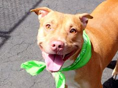 """SUPER URGENT TO BE DESTROYED - 05/09/15 TO BE DESTROYED 05/08/15 TO BE DESTROYED - 05/06/15 BISCUIT - A1033282 - TO BE DESTROYED 05/03/15 – ***LOYAL FAMILY MEMBER DISCARDED BECAUSE OF A NEW BABY*** A volunteer writes """"Biscuit was relinquished into our care as his family, counting many children and a new arrival, had no time for a pet anymore. He was owned long enough for his former master to make positive comments about him. Biscuit…"""