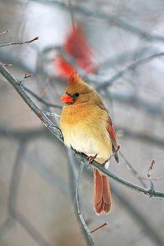Female Cardinal - #Birds