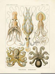 Octopus Squid Print Ernst Haeckel Art 42 by FleurDeNature Octopus Wall Art, Octopus Squid, Octopus Print, Ernst Haeckel, Antique Illustration, Botanical Illustration, Vintage Nautical Decor, Natural Form Art, Tattoo Blog