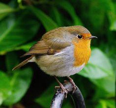 english robin - Google Search