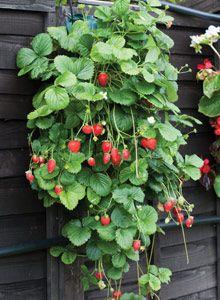 Van Meuwen Strawberries on the patio