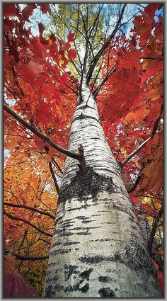 Tall Birch - Autumn  -  La Mauricie National Park - Quebec  #by Tracy Munson Photography on flickr.com