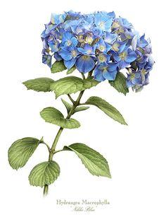 hydrangea-nikko-blue-marilynn-flynn.jpg 675×900픽셀