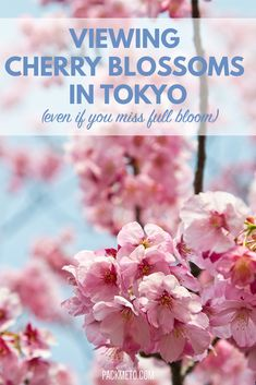 Where and how to see these beautiful cherry blossoms in Tokyo, Japan - even if you miss them at full bloom!