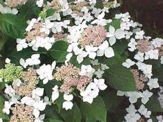 Hydrangea macrophylla 'Lanarth White' - Bing images