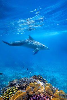 Wild Dolphin and corals in the blue ocean of Zanzibar   by Kjersti Busk Joergensen on 500px