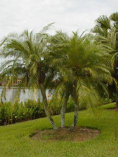 Pygmy Date Palm Tree Phoenix Roebelenii #PA-P-ROEB