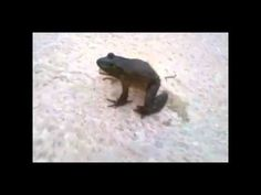 SCREAMING FROGS. this is funny. I remembered a video about a screaming frog so i searched it and found this. best ever.
