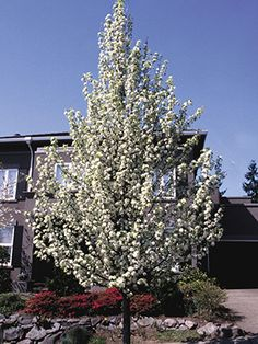1000 Images About Landscaping Trees Shrubs Perennials On Pinterest Shrubs Compact And Hedges