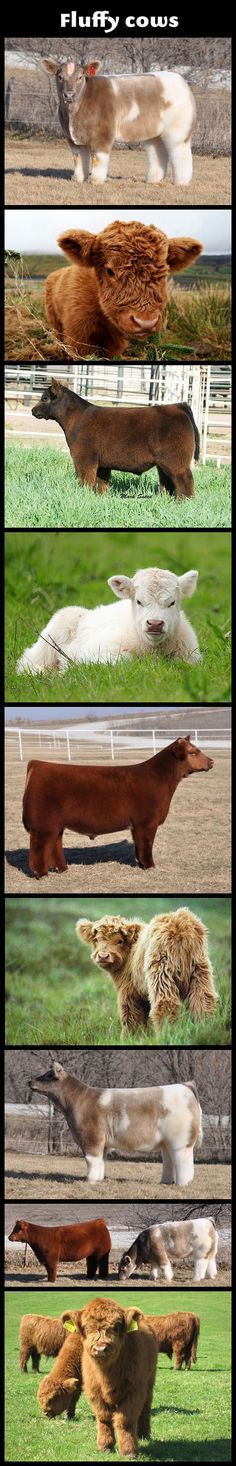 Fluffy Cows-- cute until you realize the size of those dingleberries in their fur.
