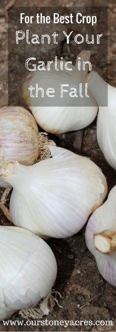 , Fall is the best time to plant garlic in your garden on the homestead. Fall planted crops have a much better chance of maturing well for a great harve. , Planting Garlic in the Fall in your backyard garden Fall Garden Vegetables, Backyard Garden Diy, Spring Plants, Organic Gardening, Backyard Ideas For Small Yards, Planting Garlic, Dream Backyard Garden, Garden Crafts Diy, Fall Plants