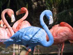 Blue flamingo with pink flamingos