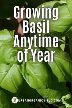 Growing Veggies, Growing Herbs, Basil Growing, Greenhouse Gardening, Container Gardening, Vegetable Gardening, How To Make Incense, Lawn And Garden, Garden Tips