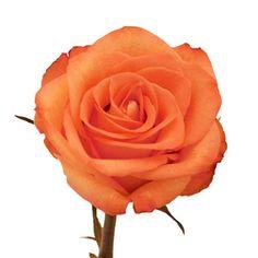 High and Peach Bulk Rose   FiftyFlowers.com